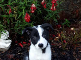 KC Registered Border Collie Male puppies