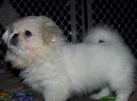 KC Snow-white Pekingese Pup Ready Now!