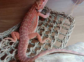 Bearded dragon Red hypo Dunner
