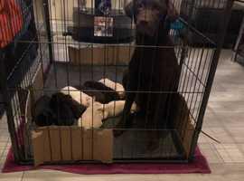 Kc reg Labradors