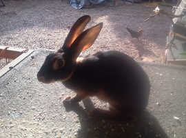 Belgian hare black and tan 14 week old vaccinated buck