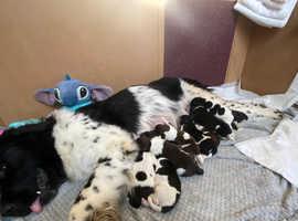 Newfoundland x st Bernard puppies