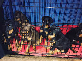 CHEEKY CHUNKY KC REG DOBERMAN PUPS READY TO LEAVE 24/07/19