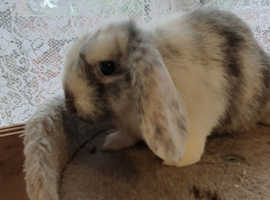 Mixed breed lop Male