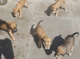 saluki x greyhound puppys