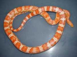 Amelanistic corn snake with Vivarium for sale Basingstoke