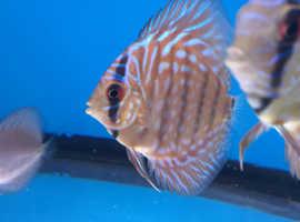 Juvenile discus fish.