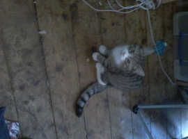 Tabby kitty with white paws to rehome