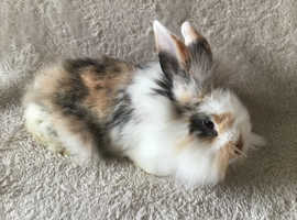 Lionhead Rabbits for sale