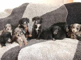 Colliepoo puppies