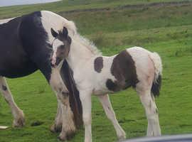 Chaps registered colt