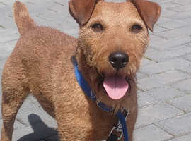 Red lakeland terrier at stud