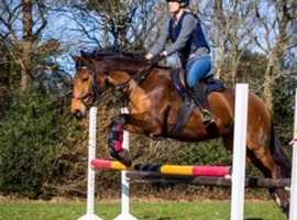 Fun and talented 15hh Zangersheide mare for sale