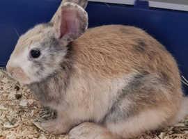 12week old harlequin rabbit