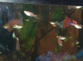 Guppies 50p each :-)