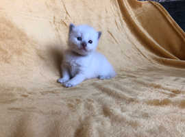 ADORABLE BLUE POINT RAGDOLL BOY READY 13TH SEPTEMBER