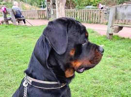 Kc registered large puppy 9months old