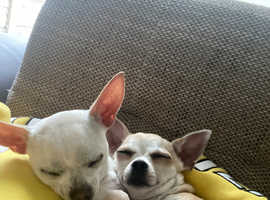 Chihuahuas adults for sale