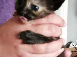 Orient@l shorthair cross Persi@n kittens - Sold pending final payment and collection