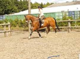 Classy Allrounder Blood Mare