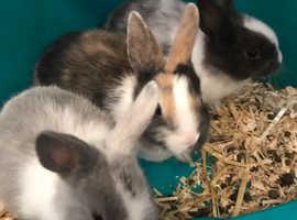 5 dutch bunnies for sale