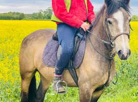 Buckskin ride drive jump pony cob