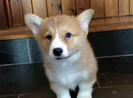 Kc Reg Pembrokeshire Corgi Puppies - ready Now