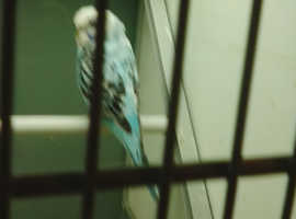 little blue cherpy budgie lost on August 6 2019 from green whythe lane carshalton surrey
