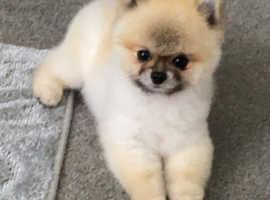 Miniature pomchi puppies