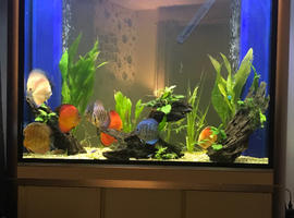 "Full tank set up with CHENS and STEVE PUNCHARDS 10 discus available .in total ranging from 5""-7 and more"