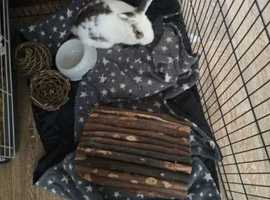 Female rabbit and indoor cage