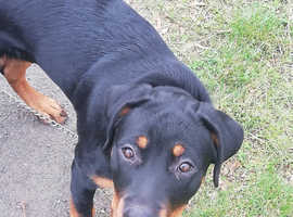 7 month old female rottie