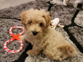 Champagne f1 Maltipoo Only 1 left