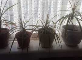 4 Dragon Tree Indoor Plants