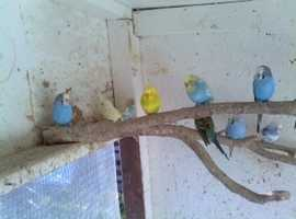 8 pairs budgies and spare hen bird 14 months old pick up only seaham or sunderland 135 pound