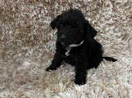 LAST GIRL Healthy Jackapoo Puppies For Sale