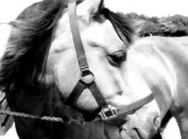 Two lovely safe horses available for part loan/share