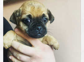 Pug X Jack Russel (Jug) FOR SALE