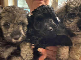 Gorgeous Litter of  F2 Miniature Shnoodle Puppies