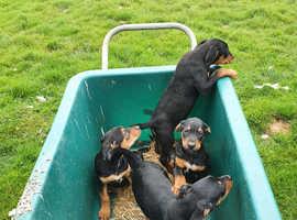 Stunning NZ Huntaway pups for sale