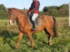 Perfect all rounder gelding
