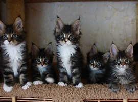 Fantastic mainecoon kittens