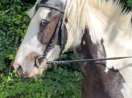 Gorgeous coloured cob mare