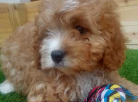 Health tested cavapoo puppies