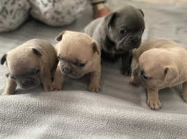 Stunning French bull dogs