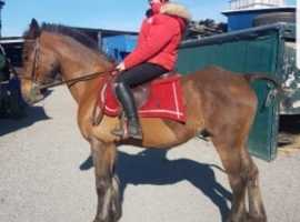 fantastic all-rounder gelding