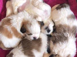 Gorgeous litter of malshi pups