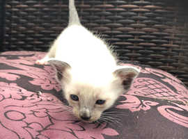 Siamese x Snowshoe kitten £495