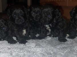 5 beautiful shihpoo puppys