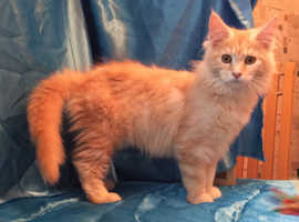 Ready now gccf registered maine coon kitten